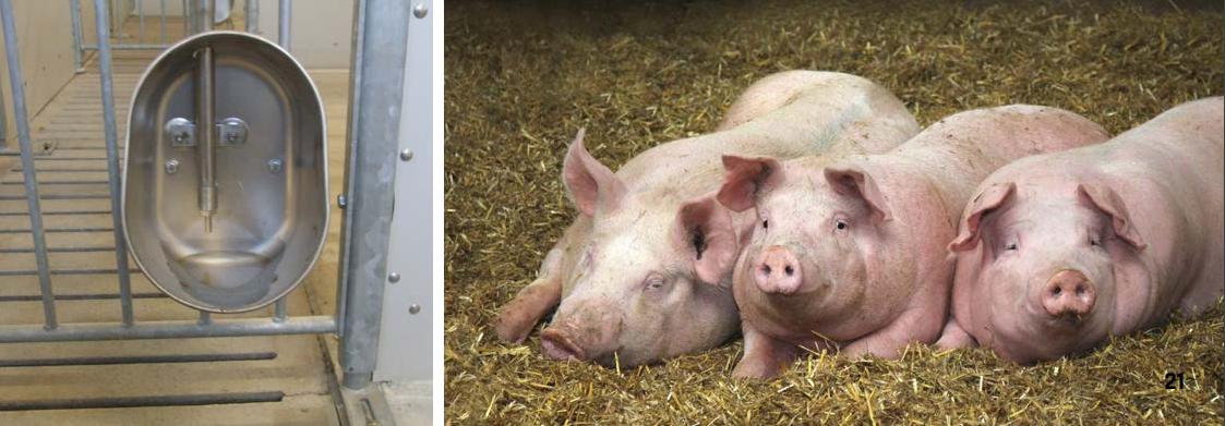 система поения свиней